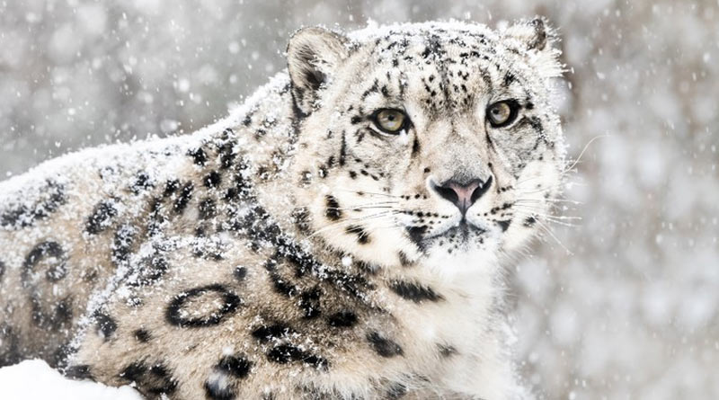 Snow leopars are at risk as the environment has been changing due to frequent landslide at hill regions | Sangbad Pratidin